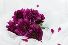 Crisantemi porpora Immagine Stock