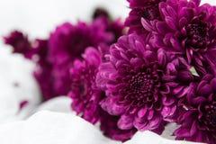 Crisantemi porpora Fotografia Stock