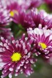 Crisantemi rosa, o Pom Pom Mums, fioritura con le punte bianche fotografie stock libere da diritti