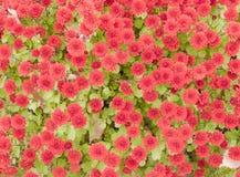 Crisantemi rossi di autunno Immagini Stock Libere da Diritti