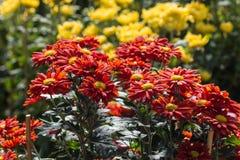 Crisantemi rossi e gialli Fotografie Stock Libere da Diritti