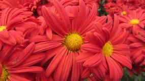 Crisantemi rossi in un giardino botanico fotografia stock