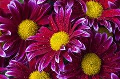 Crisantemi rosso magenta con le gocce della pioggia Fotografia Stock Libera da Diritti
