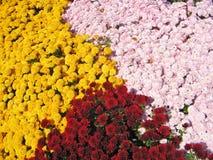 Crisantemi variopinti Immagini Stock
