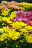Crisantemi variopinti Fotografia Stock Libera da Diritti