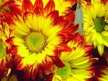 Crisantemi variopinti che crescono nel giardino Immagini Stock