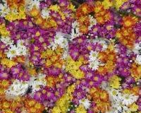Crisantemi variopinti da vendere Fotografie Stock