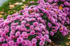 Crisantemi variopinti dei cespugli nel giardino Immagini Stock Libere da Diritti
