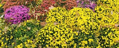 Crisantemi variopinti dei fiori di bello autunno Fotografia Stock Libera da Diritti