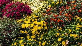 Crisantemi variopinti dei fiori di bello autunno Immagini Stock Libere da Diritti