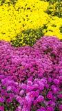 Crisantemi variopinti dei fiori di bello autunno Immagine Stock Libera da Diritti