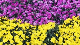 Crisantemi variopinti dei fiori di bello autunno Immagine Stock