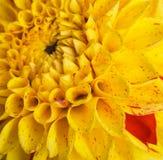 Crisantemi variopinti di autunno Fotografie Stock