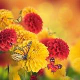 Crisantemi variopinti di autunno Immagini Stock
