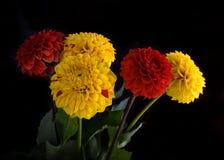 Crisantemi variopinti di autunno con i chiarori Fotografia Stock