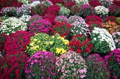 Crisantemi variopinti ed altri fiori di autunno al mercato Fotografia Stock