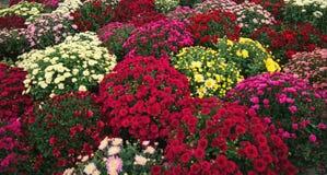 Crisantemi variopinti ed altri fiori di autunno al mercato Fotografie Stock