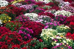 Crisantemi variopinti ed altri fiori di autunno al mercato Fotografia Stock Libera da Diritti