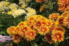 Crisantemi variopinti in fioritura Immagine Stock