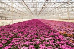Crisantemi variopinti pronti per raccogliere Fotografia Stock Libera da Diritti