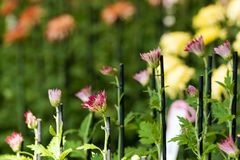 Crisantemi variopinti in serra giapponese Primo piano Fotografie Stock Libere da Diritti
