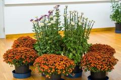 Crisantemi variopinti in serra giapponese Primo piano Immagine Stock Libera da Diritti