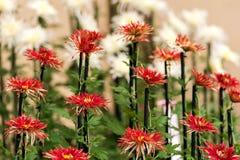 Crisantemi variopinti in serra giapponese Primo piano Immagini Stock