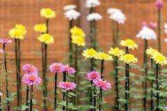 Crisantemi variopinti in serra giapponese Primo piano Immagini Stock Libere da Diritti
