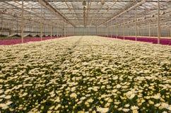 Crisantemi variopinti in una scuola materna olandese del fiore Fotografie Stock