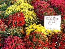 Crisantemi vibranti e variopinti del giardino da vendere Fotografie Stock