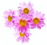 Crisantemo 1 Foto de archivo libre de regalías