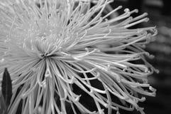 Crisantemo imágenes de archivo libres de regalías