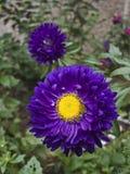 Crisantemo Fotografie Stock