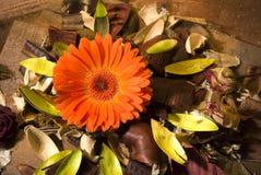 Crisantemo Fotos de archivo