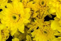 Crisantemo imagen de archivo
