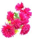 Crisantemo immagine stock libera da diritti