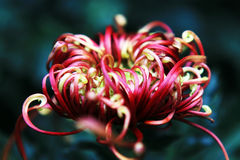 Crisantemo Foto de archivo