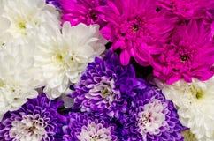Crisantemo Fotografie Stock Libere da Diritti
