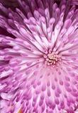 Crisantemo 4 Imagenes de archivo