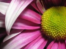 Crisantemo Immagine Stock