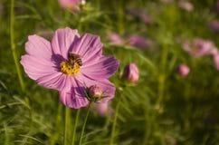 Crisantemo Fotografía de archivo libre de regalías