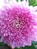 crisantemo Fotografia Stock Libera da Diritti
