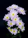 Crisantemo Fotografía de archivo