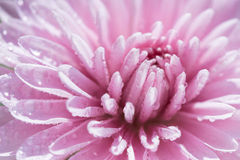 Crisantemo Imagenes de archivo