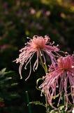 Crisantemo Imagen de archivo libre de regalías