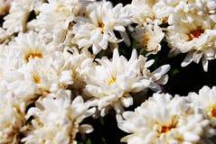 crisantemo Immagini Stock