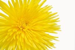 Crisantemo amarillo. Fotografía de archivo
