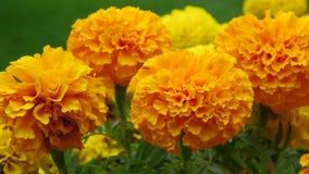 Crisantemo amarillo Fotografía de archivo