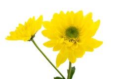 Crisantemo amarillo Imagen de archivo