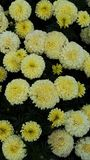 Crisantemo amarillo foto de archivo